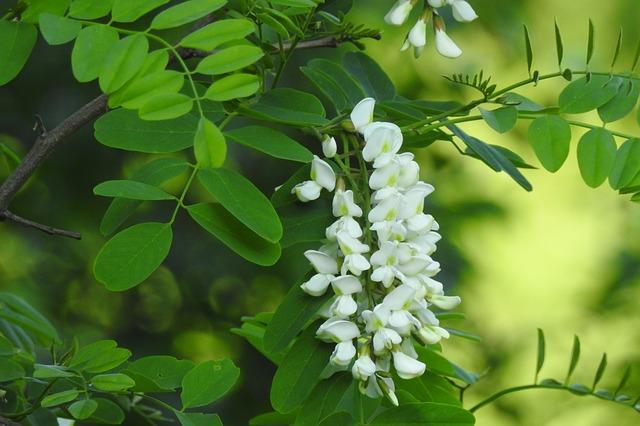 fiore da stornelli e da tisane